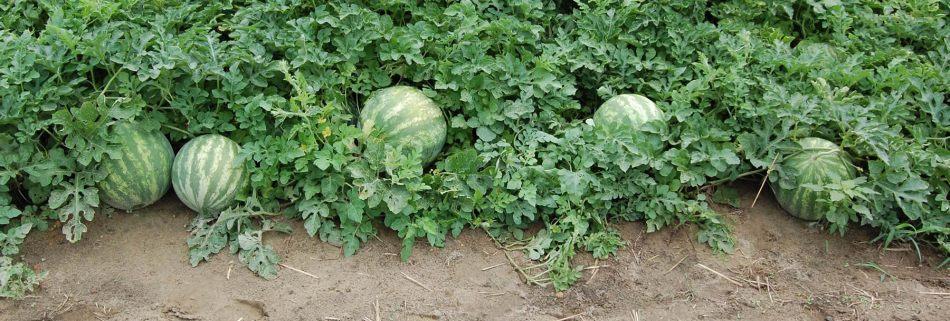 fourwatermelons